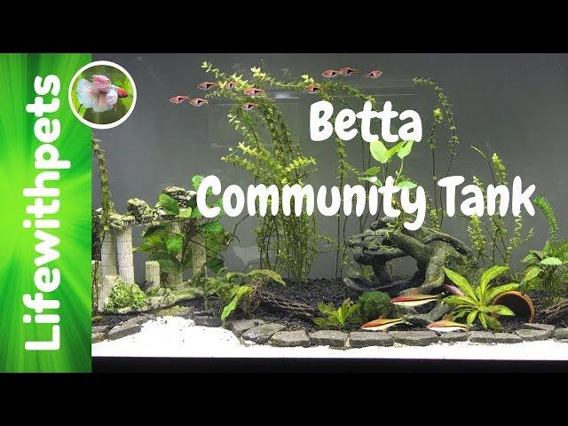Betta Fish Community Tank Needs A Major Clean Up
