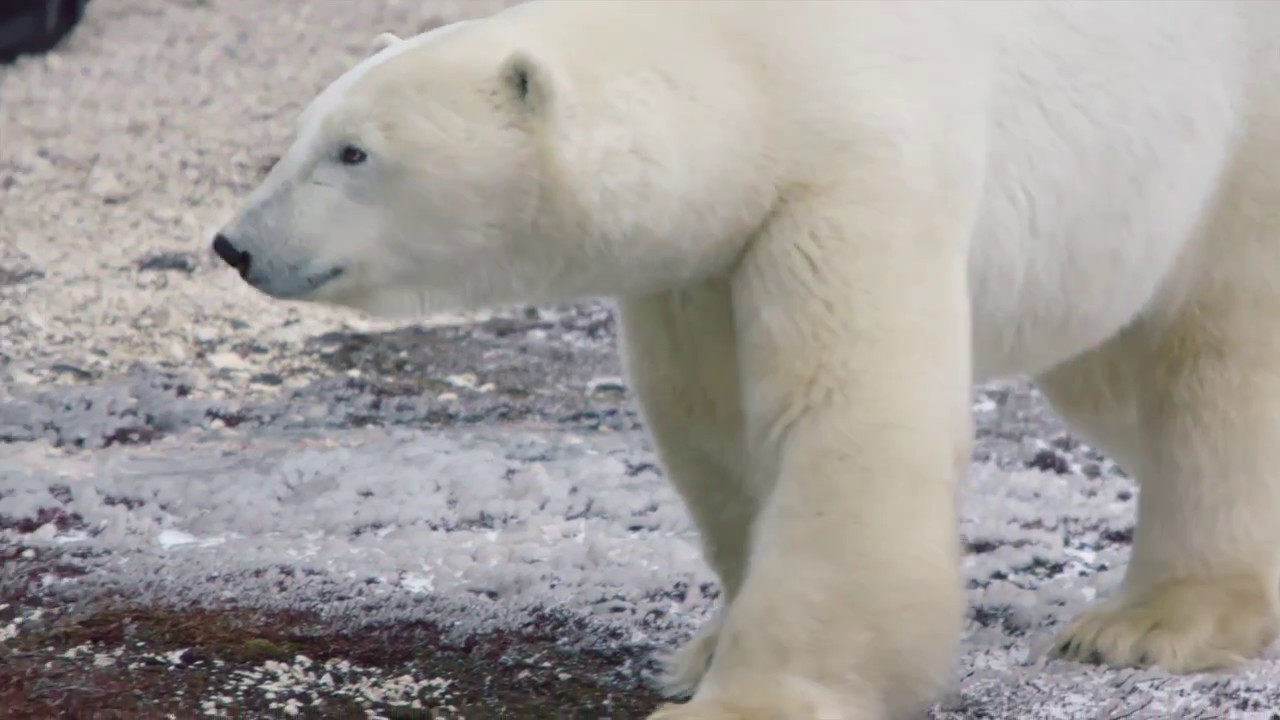 Classic Polar Bear Safari