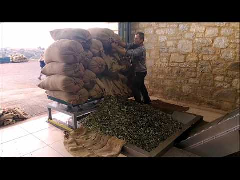 Aristos Olivenöl Herstellung in Ölmühle