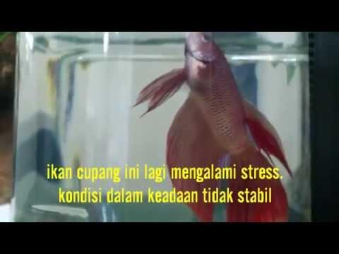 Video ikan cupang ini mengalami stress berat