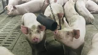 L'enrichissement dans les fermes porcines