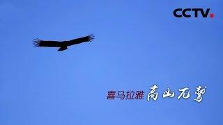 《喜马拉雅高山兀鹫》悬崖上的藏族神鸟 | CCTV纪录