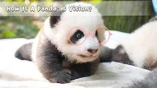 How Is A Panda's Vision? | iPanda