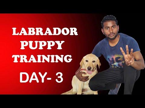 Labrador Puppy Training - Day 3 | Train Your Puppy Sit & Shake ...