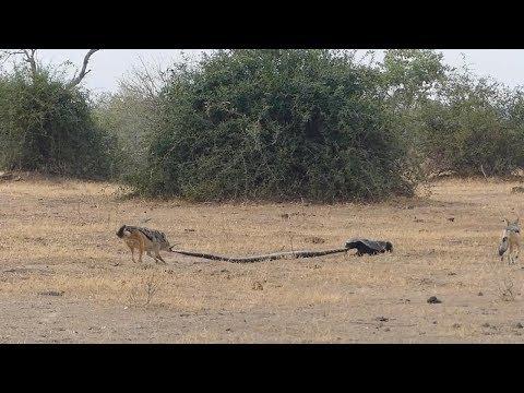 Python, Honey Badger & Jackal Fight Each Other