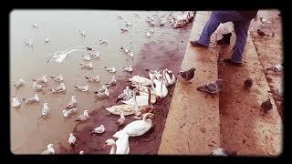 Жестокое нападение чаек на лебедей!!!!!