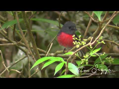 Rose Robin (Petroica rosea) HD Video 1/1