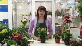Домашний сад - Каланхоэ