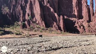Abenteuer 100 Tage Südamerika: Lamas im Canyon von Tupiza
