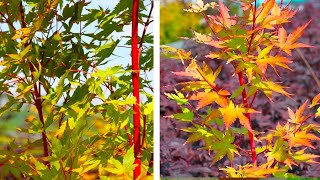 How to Plant Japanese Maples: Easy Garden Guide