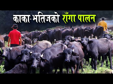विदेशबाट फर्केपछि काका-भतिजले सुरु गरे राँगा पालन, यस्तो छ अथाह सम्भावना | Buffalo Farming in Nepal