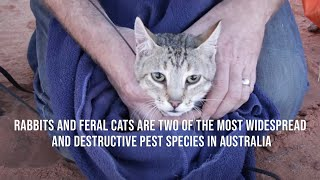 Rabbits and feral cats are two of the most widespread and destructive pest species in Australia