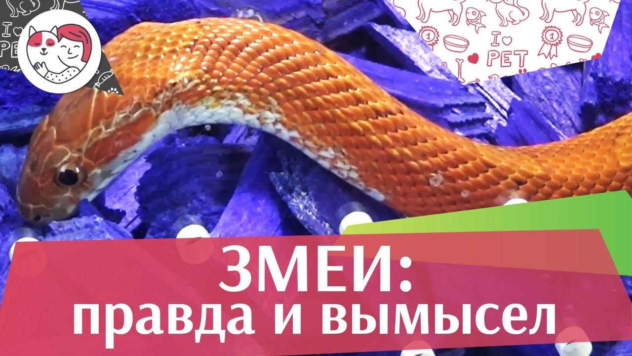 5 самых распространенных мифов о змеях на ilikepet