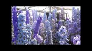 Larkspur Nursery Delphiniums In Bloom July 2013