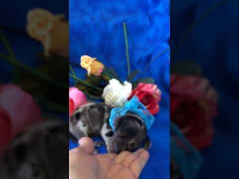 Marley AKC Silver Dapple Male Miniature Dachshund Puppy for sale