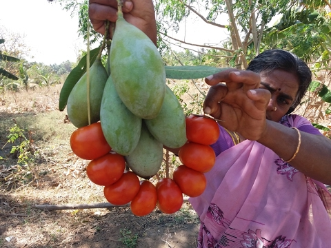 Cooking Fresh Mango/Tomato Rice in My Village - Yummy Taste