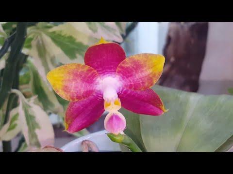Прелестный mituo reflex dragon x purple red  Наш первый цветочек!