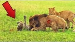 Male Lion Attack On Cheetah In Africa  Wild | Cheetah Vs Ostrich