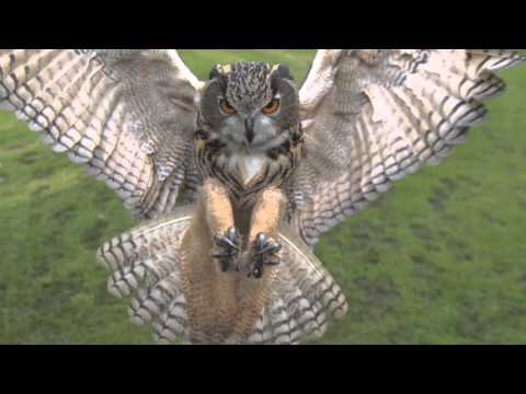 Full HD High Speed Movie - Eagle owl 2 - Photron SA2