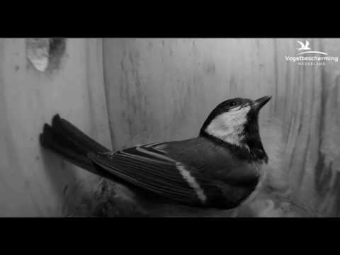 Great Tits: Nesting Material - 04.04.2017