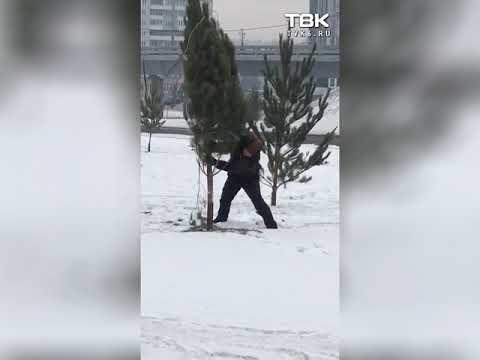 Втыкают сосны в снег (Красноярск)