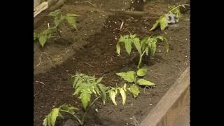 Голова садовая. Как высадить помидоры в теплицу