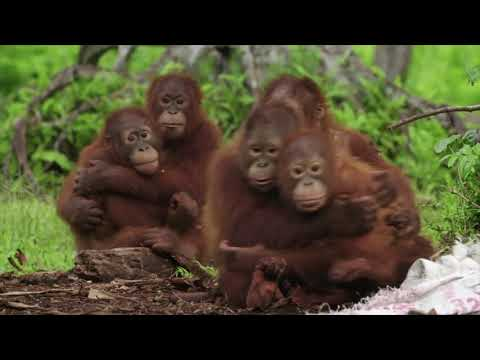 Teaching Baby Orangutans About Snakes