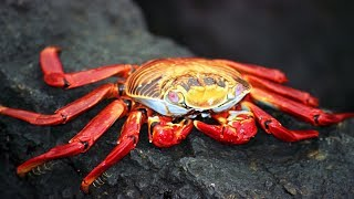 The Crabs for Children with Pronunciation (and with photos)