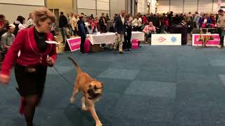 WORLD DOG SHOW 2017 Cadebou Male open