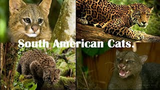 Cats Of South America - Top 10 Wild Cats Of South America