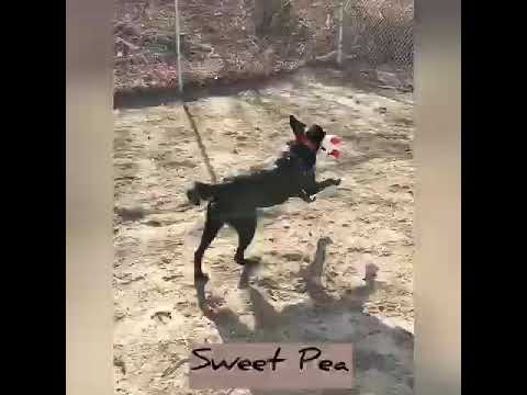Sweet Pea, an adoptable Labrador Retriever Mix in Danbury, CT