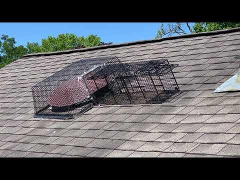 Opportunistic Raccoons Break Into Attic in Oakhurst, NJ