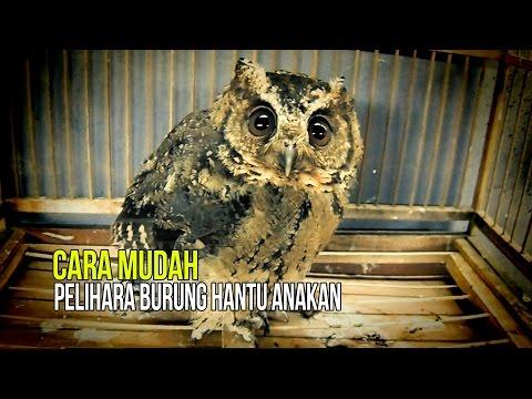Video DUNIA HOBI : Tips Ampuh Pelihara Burung Hantu Anakan