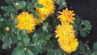 Хризантемы ранние сорта и характеристики.Фильм №3.