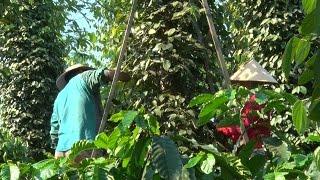 Giá hồ tiêu giảm mạnh ảnh hưởng lớn đến đời sống của nông dân Tây Nguyên