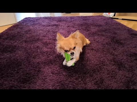 🐶 Hundezahnbürste / Kaustick / Spielzeug