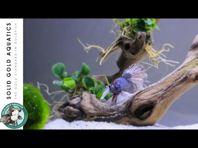 SOLID GOLD HAS A BETTA?! // Unboxing & Adding Plants to My Betta Tank