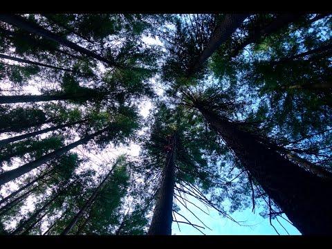 Foresta di pino più e dermatite atopic