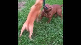 American Bulldog Puppies Videos