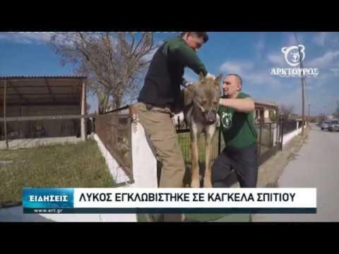 Λύκος εγκλωβίστηκε σε κάγκελα σπιτιού -Την ιατρική φροντίδα ανέλαβε ο «Αρκτούρος» | 20/02/2020 | ΕΡΤ