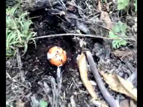 Unghia di fungo di unghia nera