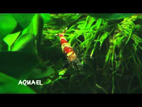 Freshwater prawn farming aquaponics Guide ~ Best Ponic