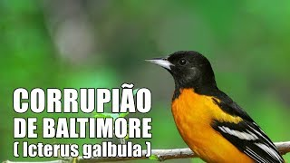 O CANTO DO CORRUPIÃO DE BALTIMORE ♫