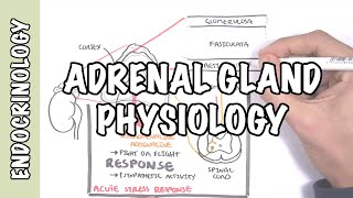 Ahoj New Video on the endocrine system focusing on the adrenal glands