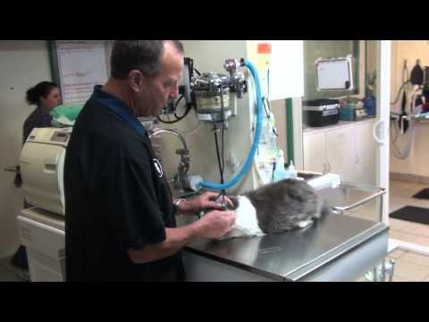 Video Ear mites ,Ear Hematoma, Cats