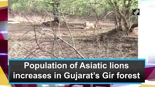 Population of Asiatic lions increases in Gujarat Gir forest - Download this Video in MP3, M4A, WEBM, MP4, 3GP