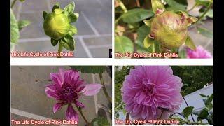 The Life Cycle of Pink Dahlia|Relaxing Music & Bird Sounds|Beautiful Piano Music