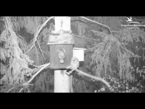 Tawny Owls: Second Chick Comes Out - 26.04.17