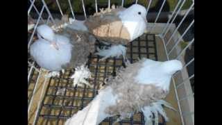 Крымская выставка голубей 2012