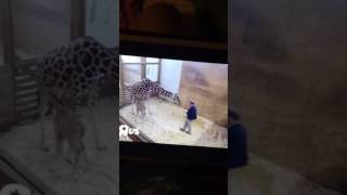 April the giraffe yes Dr. Tim a couple of good kicks watch out Doc